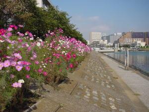 2花海道コスモス