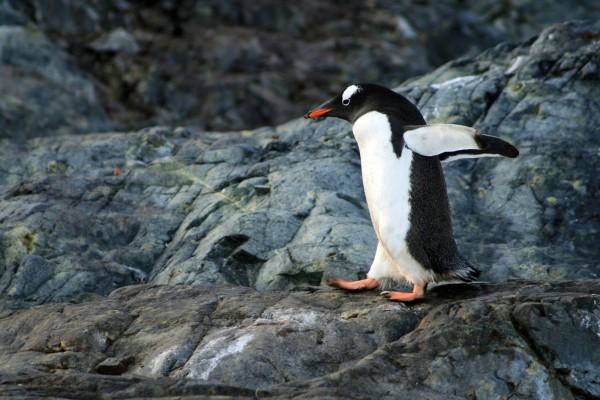 駆けるペンギン?